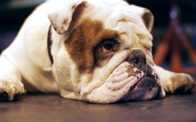 Bulldog til din hud