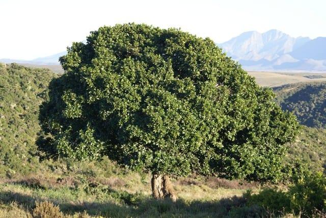 Hovednoten i Dolce & Gabbana Intenso stammer fra dette Milkwood træ, som primært gror i Zimbabwe. Det er aldrig blevet brugt i parfumer før.
